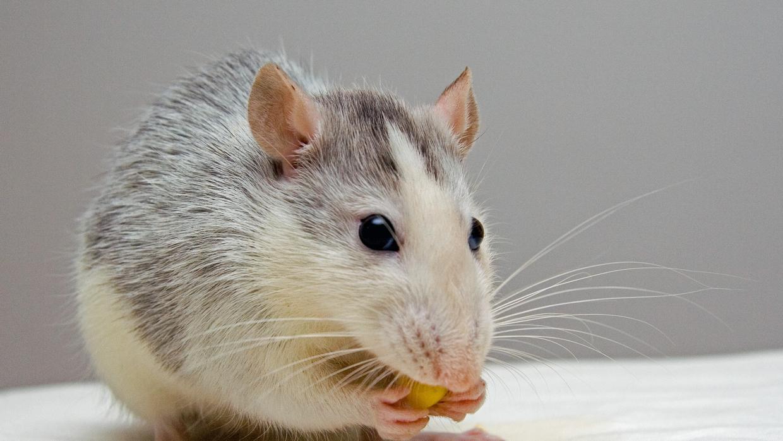 Un modelo animal de alzhéimer facilitará su estudio y el desarrollo de nuevas terapias