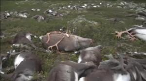 Un rayo mata a 323 renos al sur de Noruega