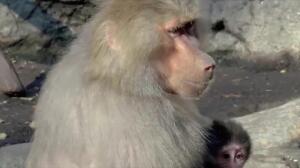 Los babuinos emiten algo parecido a las cinco vocales