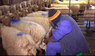Una granja de ovejas con quesos de ensueño