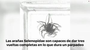 Esta araña tiene el giro más rápido del planeta: tres veces en un parpadeo humano